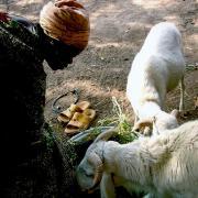 élevage de chèvres
