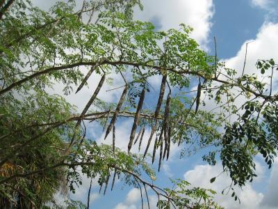 Gousses sur branches