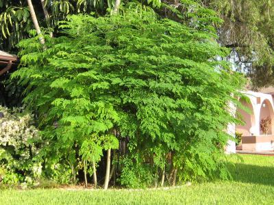 Moringa arbre